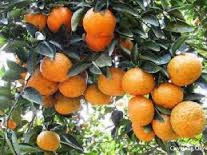 Cây giống cam canh, cam đường canh, chuẩn giống, số lượng lớn5