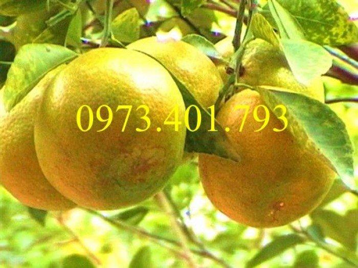 Giống cây cam xoàn, cam xoàn, cây cam, cây cam xoàn, kĩ thuật trồng cam xoàn3