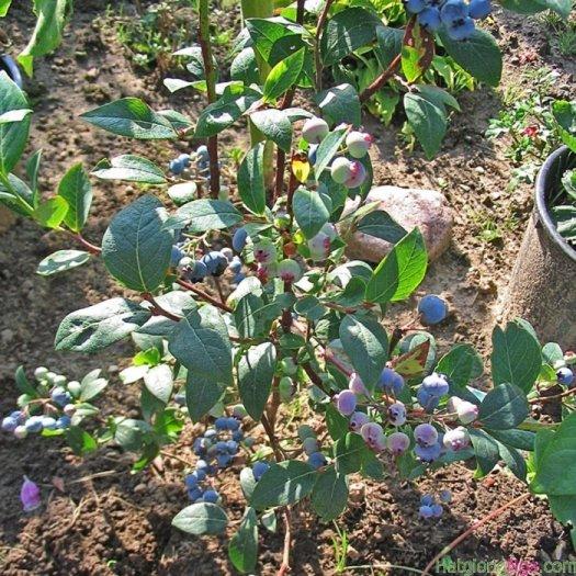 Cây giống việt quất, việt quất có hoa có quả, số lượng lớn.1