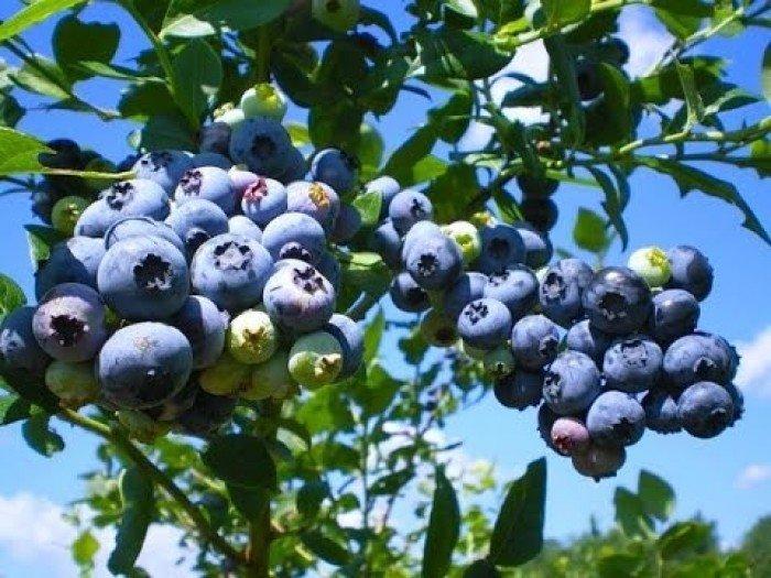 Cây giống việt quất, việt quất có hoa có quả, số lượng lớn.3