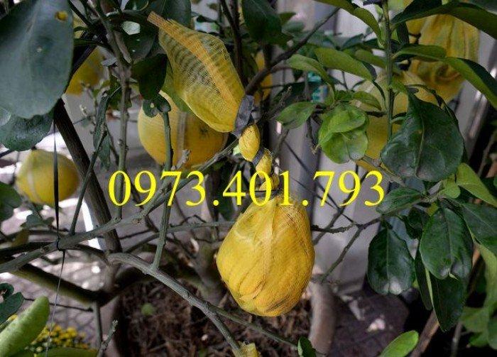 Giống cây bưởi diễn ( cây choai ), bưởi diễn, cây bưởi diễn, cây bưởi, kĩ thuật trồng bưởi0