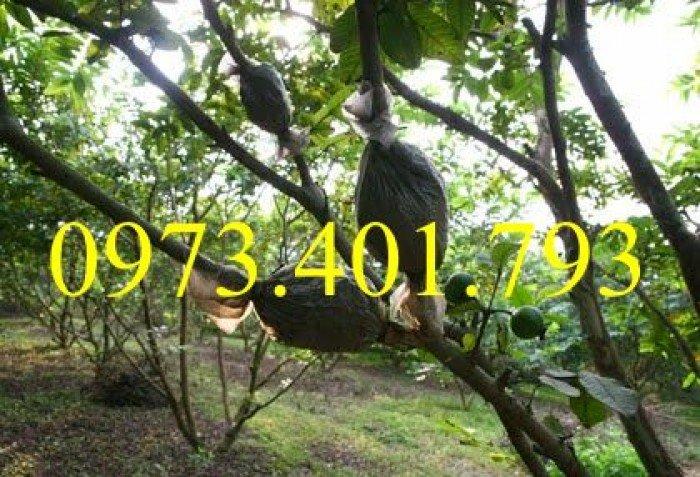 Giống cây bưởi diễn ( cây choai ), bưởi diễn, cây bưởi diễn, cây bưởi, kĩ thuật trồng bưởi4