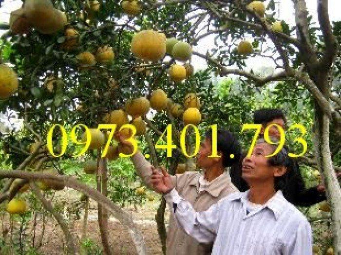 Giống cây bưởi diễn ( cây choai ), bưởi diễn, cây bưởi diễn, cây bưởi, kĩ thuật trồng bưởi1