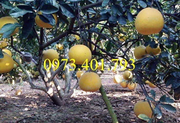 Giống cây bưởi diễn ( cây choai ), bưởi diễn, cây bưởi diễn, cây bưởi, kĩ thuật trồng bưởi3