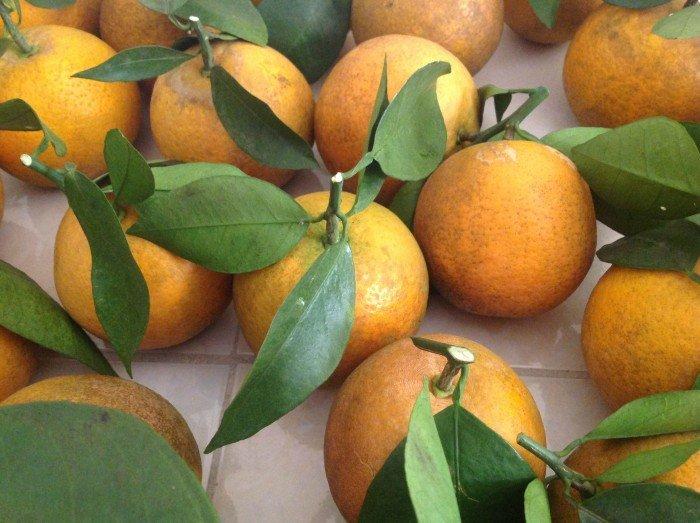 Cây giống cam vinh, số lượng lớn.1