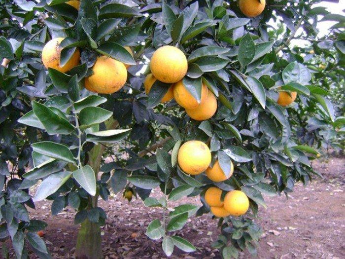 Cây giống cam vinh, số lượng lớn.2