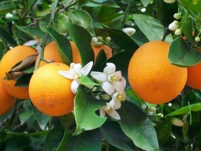 Cây giống cam vinh, số lượng lớn.0