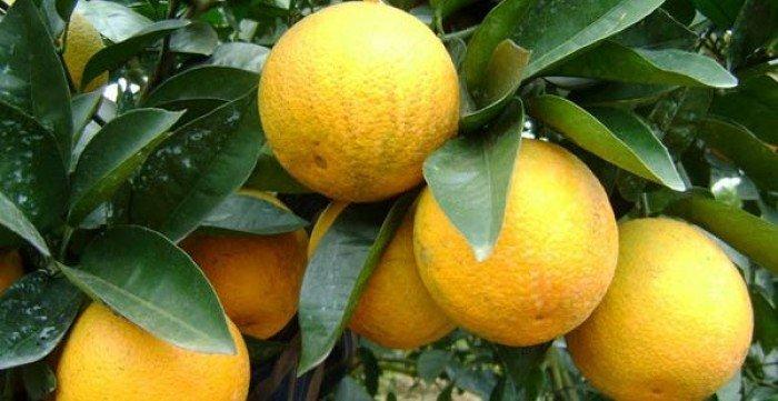 Cây giống cam vinh, số lượng lớn.3