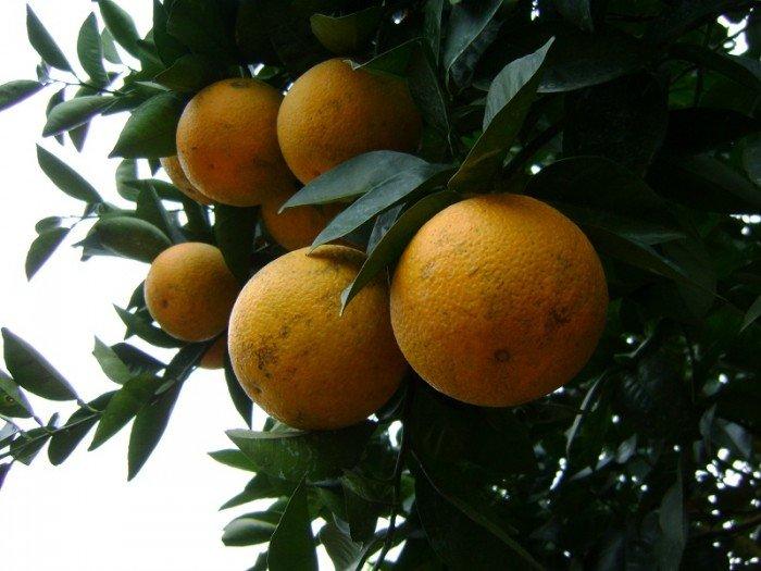 Cây giống cam vinh, số lượng lớn.4