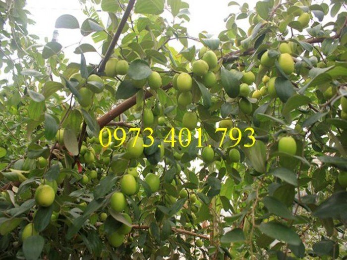 Giống cây táo chua, táo chua , cây táo chua, táo, cây táo3