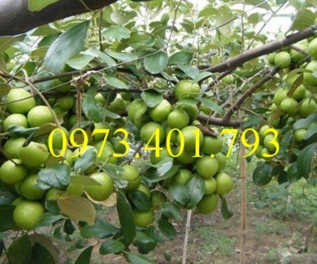 Giống cây táo Thái, cây táo Thái, cây táo, táo Thái, táo, kĩ thuật trồng táo thái1