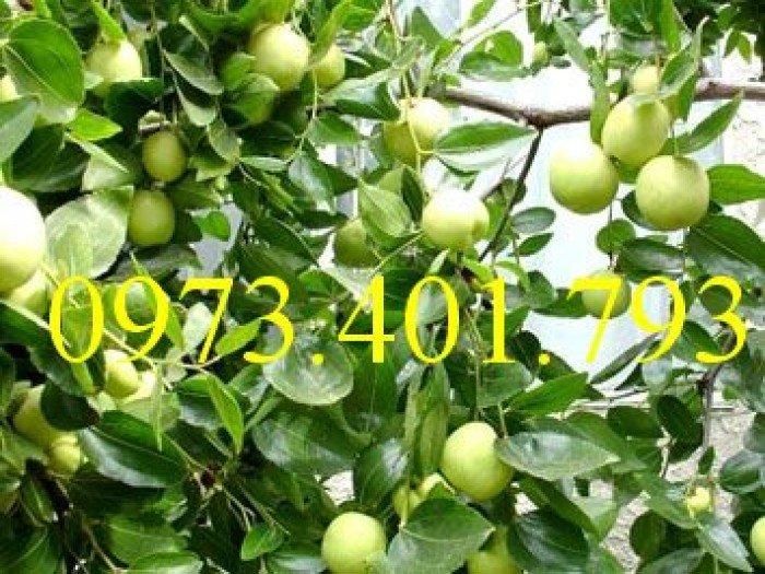 Giống cây táo Thái, cây táo Thái, cây táo, táo Thái, táo, kĩ thuật trồng táo thái3