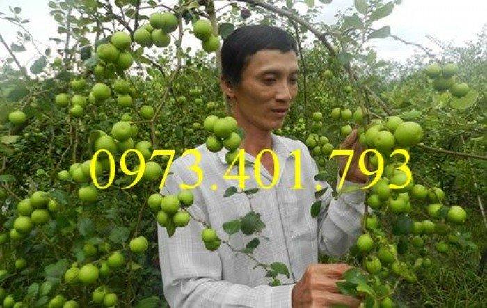 Cây giống táo Đại, táo Đại, cây táo Đại, táo, cây táo1