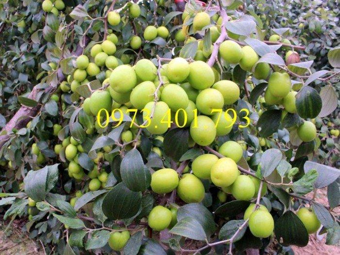Cây giống táo Đài Loan, táo Đài Loan, cây táo, táo, cây táo Đài Loan2