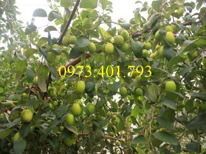 Cây giống táo Đài Loan, táo Đài Loan, cây táo, táo, cây táo Đài Loan3