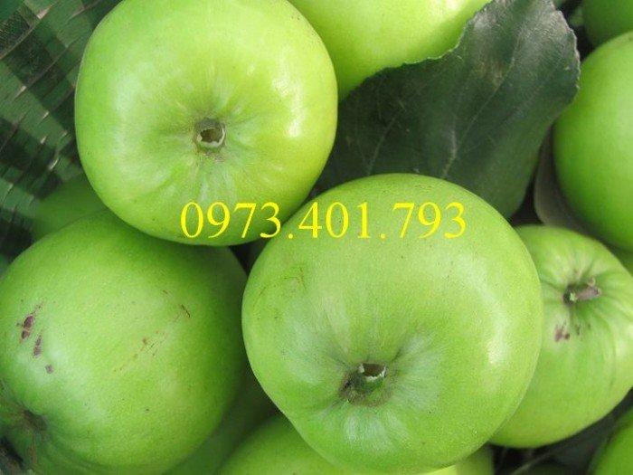 Cây giống táo Đài Loan, táo Đài Loan, cây táo, táo, cây táo Đài Loan4