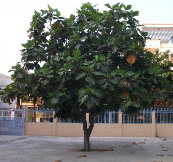 Cây giống sakê, số lượng lớn, giao cây toàn quốc.3