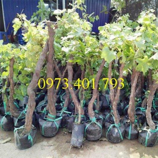 Chuyên cung cấp Cây Giống nho tím Ninh Thuận chất lượng, giá rẻ
