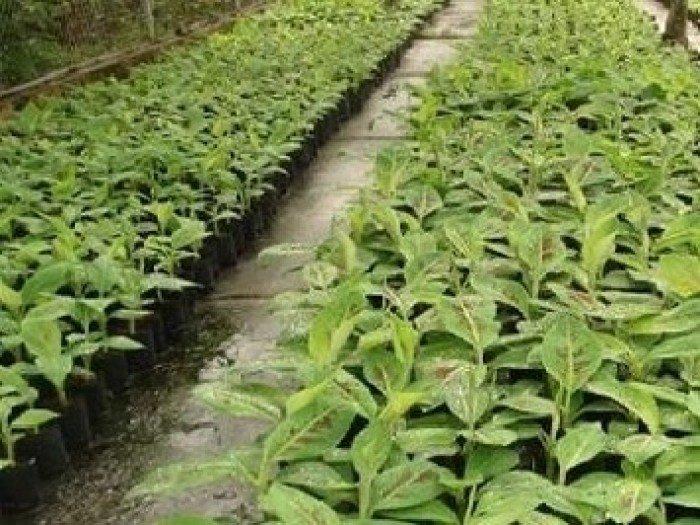 Cây giống chuối tây, chuối tây thái lan, chuối tây lùn, chuối tây cao, chuối nuôi cấy mô, số lượng lớn.1