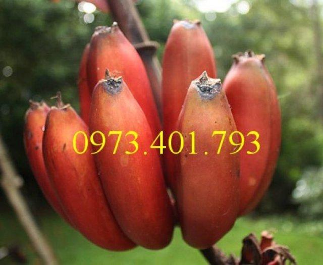 Cây giống chuối đỏ, chuối đỏ, cây chuối đỏ, cây chuối, thông tin cây chuối đỏ0