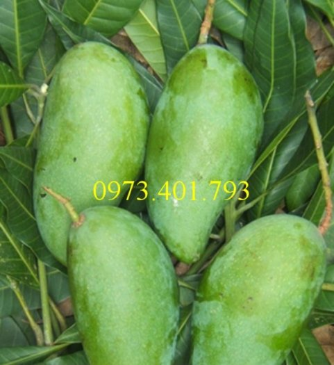 Giống cây xoài Đài Loan, cây xoài , kĩ thuật trồng xoài, cây xoài Đài Loan, xoài1