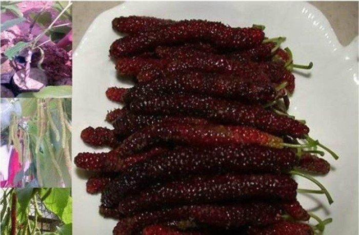 Chuyên cung cấp cây giống dâu quả dài, dâu quả dài đài loan, cây giống nhập chất lượng cao2