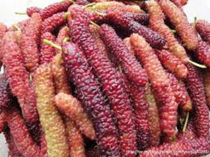 Chuyên cung cấp cây giống dâu quả dài, dâu quả dài đài loan, cây giống nhập chất lượng cao4