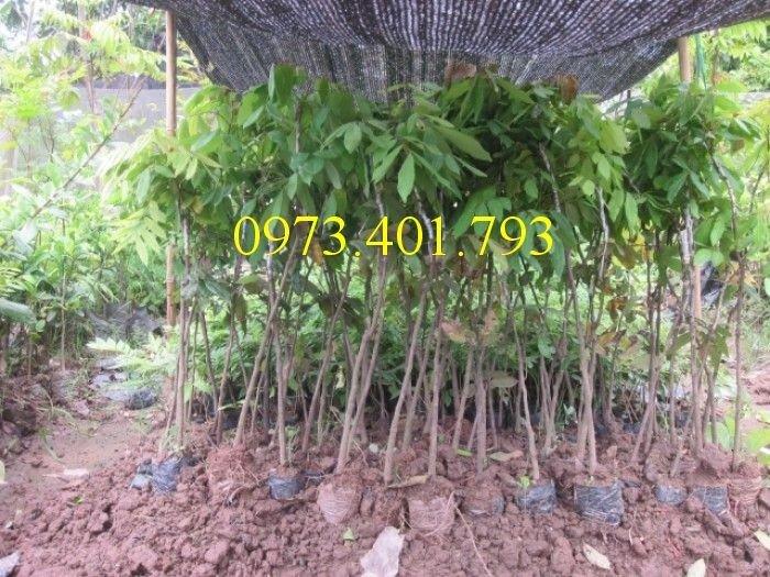Chuyên cung cấp cây giống Nhãn hương chi giá rẻ1