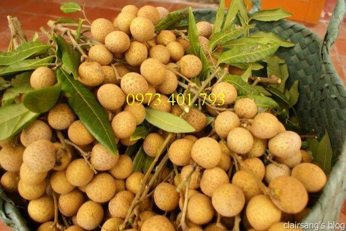 Chuyên cung cấp cây giống Nhãn hương chi giá rẻ4
