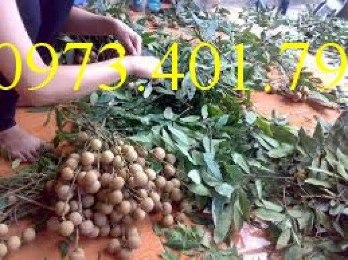 Chuyên cung cấp cây giống Nhãn hương chi giá rẻ2