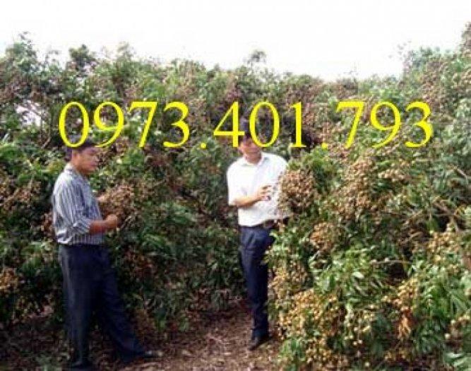 Chuyên cung cấp cây giống Nhãn hương chi giá rẻ3