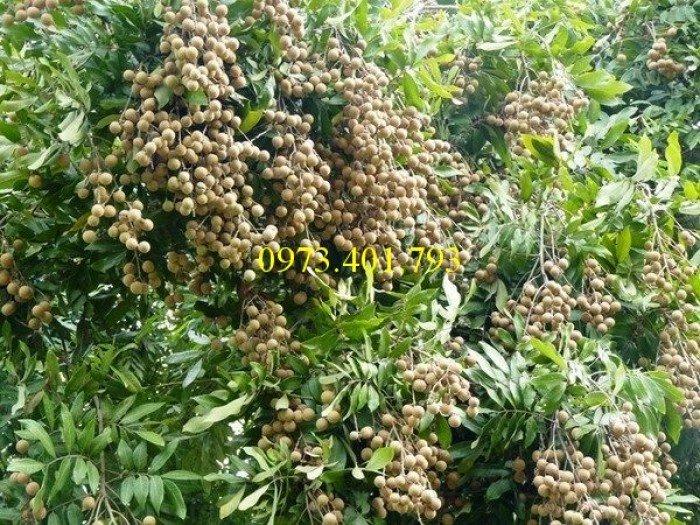 Giống cây nhãn chiết sớm quả to Indo, nhãn indo, cây nhãn ido, cây nhãn, nhãn. kĩ thuật trồng nhãn0