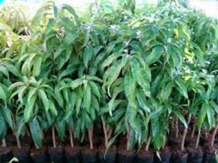 Bán cây giống xoài đài loan, số lượng lớn, giao cây toàn quốc.0