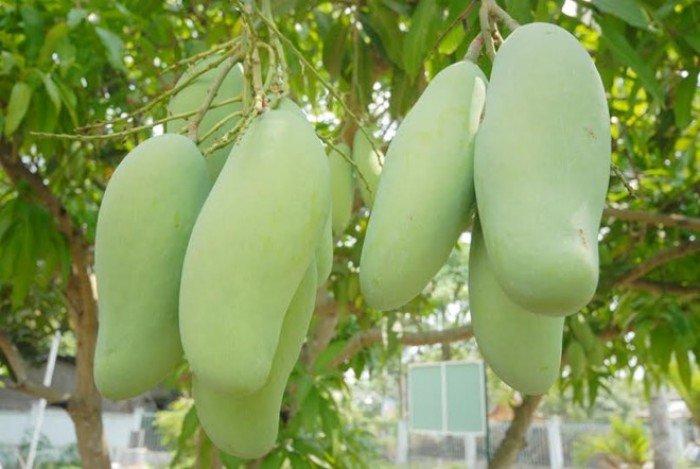 Bán cây giống xoài đài loan, số lượng lớn, giao cây toàn quốc.2