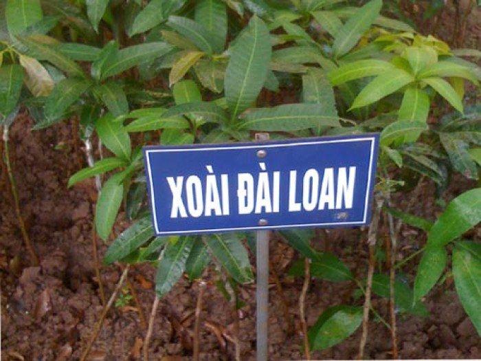 Bán cây giống xoài đài loan, số lượng lớn, giao cây toàn quốc.4