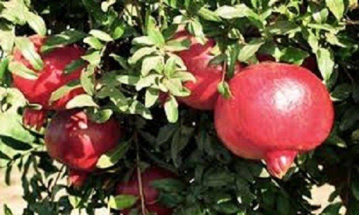 Cây giống lựu, quả đỏ, số lượng lớn, giao cây toàn quốc.2