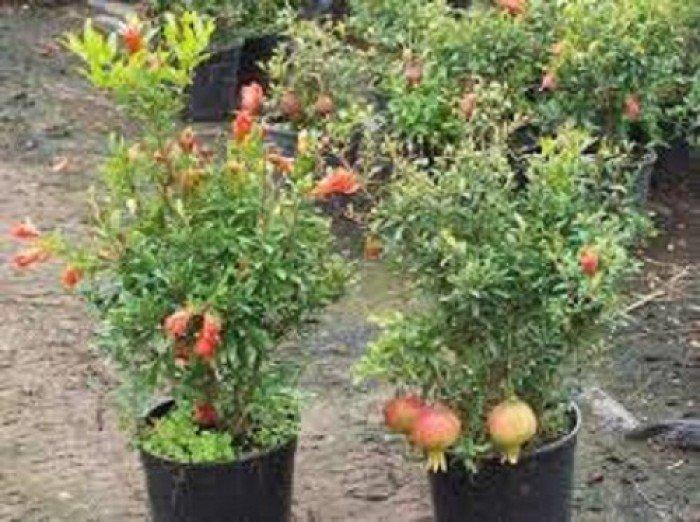Cây giống lựu, quả đỏ, số lượng lớn, giao cây toàn quốc.4