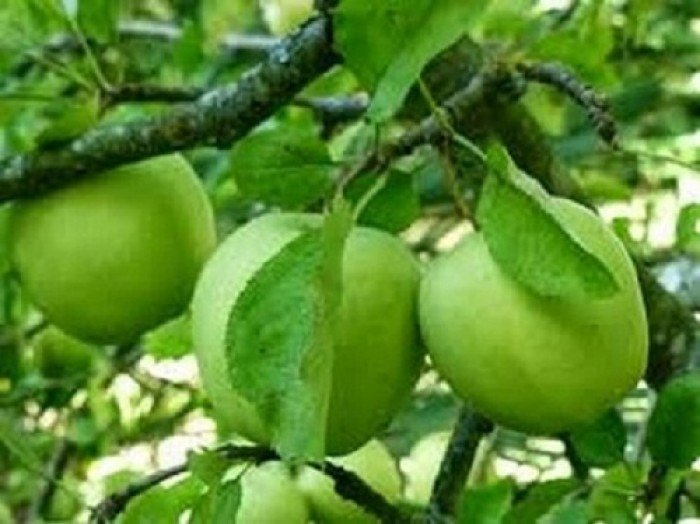 Cây giống táo Thái Lan, số lượng lớn, giao cây toàn quốc.2