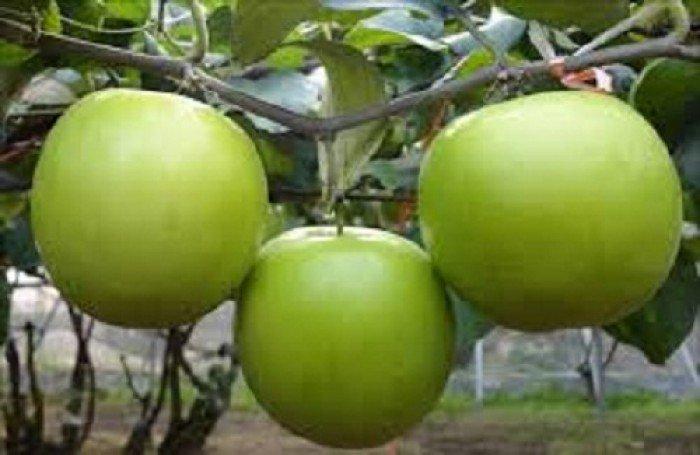Cây giống táo đại, số lượng lớn, giao cây toàn quốc.2