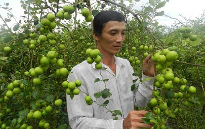 Cây giống táo đại, số lượng lớn, giao cây toàn quốc.4