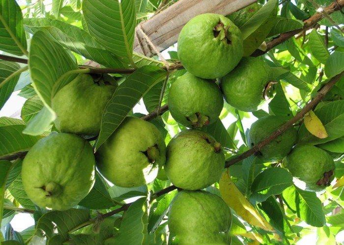 Cây giống ổi đông dư, ổi bốn mùa, số lượng lớn, giao cây toàn quốc.4