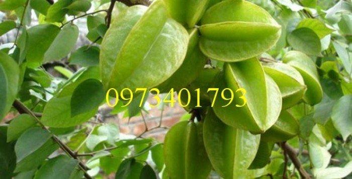 Giống cây khế ngọt, khế ngọt, cây khế ngọt, kĩ thuật trồng cây khế ngọt2