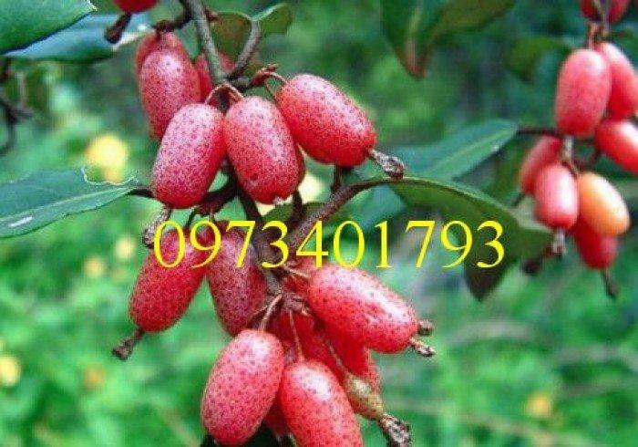 Giống cây nhót ngọt, nhót ngọt, cây nhót ngọt, cây nhót, kĩ thuật trồng cây nhót ngọt2