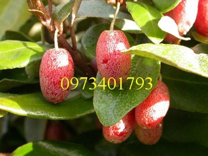 Giống cây nhót ngọt, nhót ngọt, cây nhót ngọt, cây nhót, kĩ thuật trồng cây nhót ngọt3