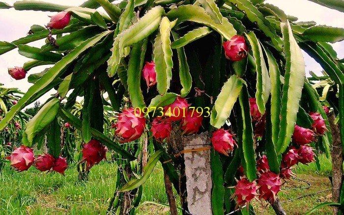 Giống cây thăng long ruột đỏ, thăng long ruột đỏ, cây thăng long ruột đỏ, cây thăng long, kĩ thuật trồng cây1