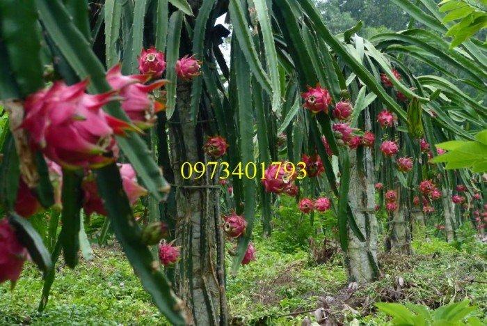 Giống cây thăng long ruột đỏ, thăng long ruột đỏ, cây thăng long ruột đỏ, cây thăng long, kĩ thuật trồng cây2