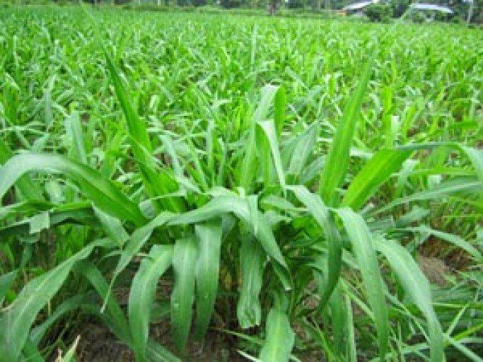 Cung cấp hạt giống cỏ ghinê, cỏ sả, cỏ chăn nuôi, số lượng lớn, giao cây toàn quốc.2