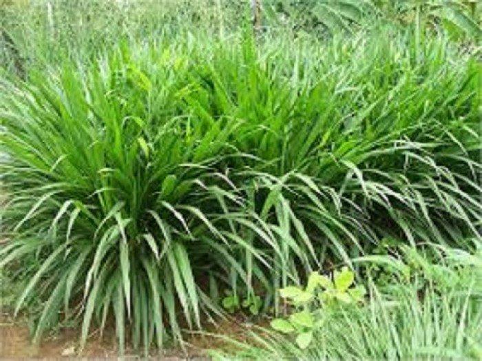 Cung cấp hạt giống cỏ ghinê, cỏ sả, cỏ chăn nuôi, số lượng lớn, giao cây toàn quốc.3