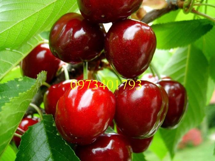 Giống cây Chery Anh Đào0