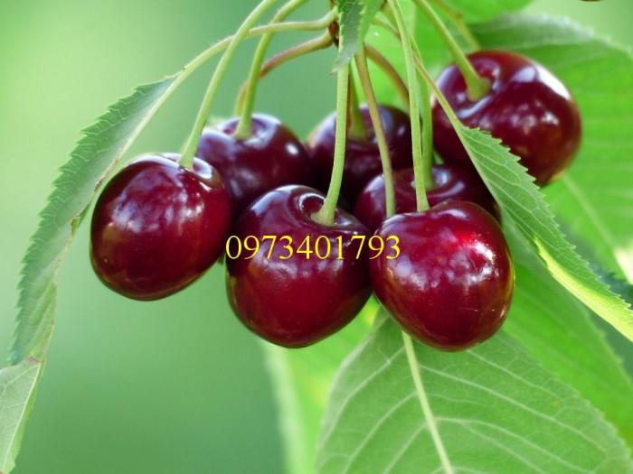 Giống cây Chery Anh Đào1
